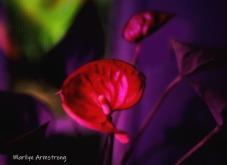 300-scarlet-anthurium_06252020_007