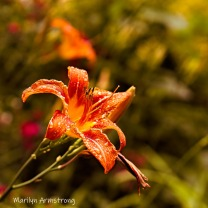300-square-daylilies_062720_072