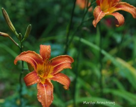 300-two-wet-daylilies_062720_079