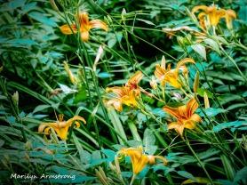 300-daylilies_062320_012b