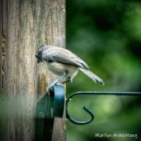 Catbird on the wire