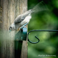 300-square-catbird-birds-late-july_072220_010