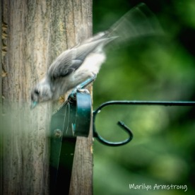 300-square-catbird-birds-late-july_072220_010