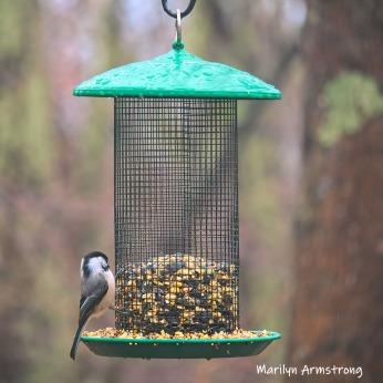 300-square-chickadee-birds-are-back-03222019_107