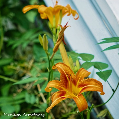 300-square-daylilies_062320_007