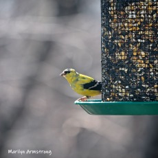 300-square-goldfinch-birds-03272019_222