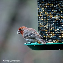 300-square-house-finch-birds-are-back-03222019_152
