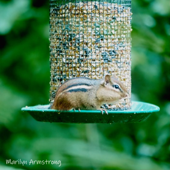 300-square-least-chipmunk-late-july_072220_032