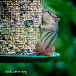 300-square-least-chipmunk-late-july_072220_049