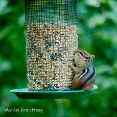 300-square-least-chipmunk-late-july_072220_083