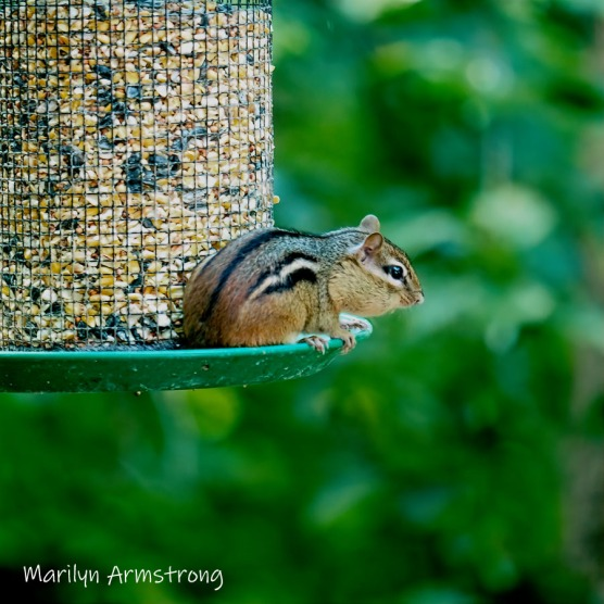 300-square-least-chipmunk-late-july_072220_085