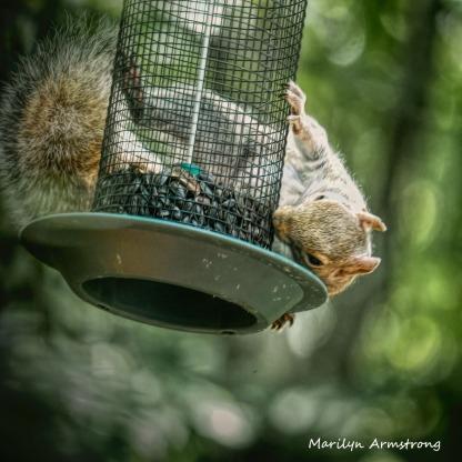 300-square-squirrel-crazy_072420_001