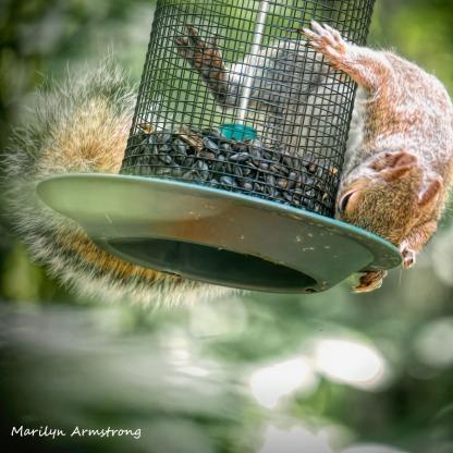 300-square-squirrel-crazy_072420_007