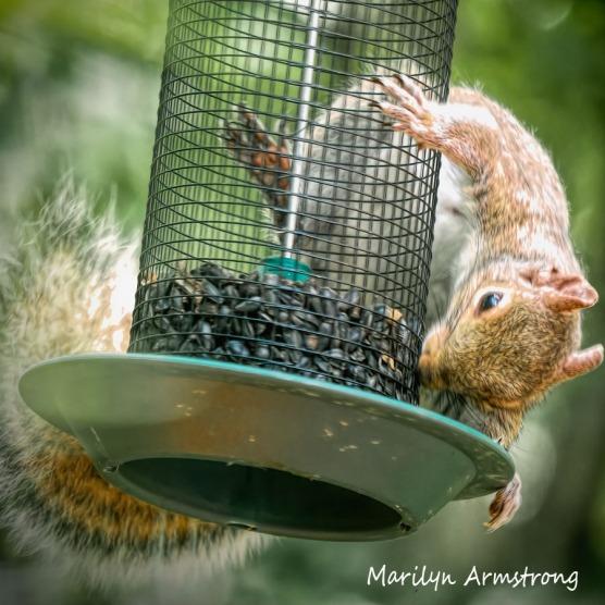 300-square-squirrel-crazy_072420_008