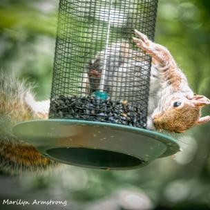 300-square-squirrel-crazy_072420_009