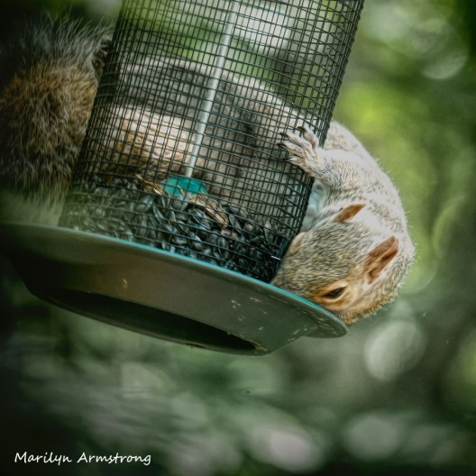 300-square-squirrel-crazy_072420_023