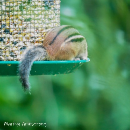 300-square-tail-least-chipmunk-late-july_072220_069