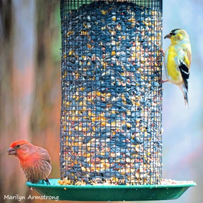 300-square-two-finches-are-back-03222019_128