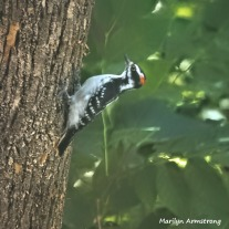 300-b-square-woodpecker-at-work_083020_016