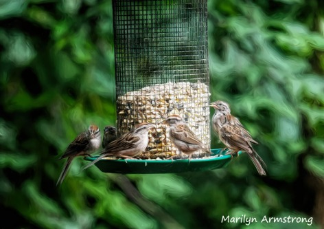 300-chipping-sparrows_080420_047