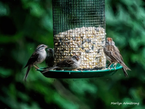 300-chipping-sparrows_080420_054