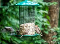 300-chipping-sparrows_080420_069