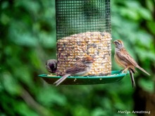 300-chipping-sparrows_080420_082