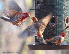 00-flying-red-finches-crop-02282020_083