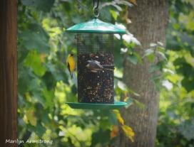 300-goldfinch-nuthatch-birds-08252020-039
