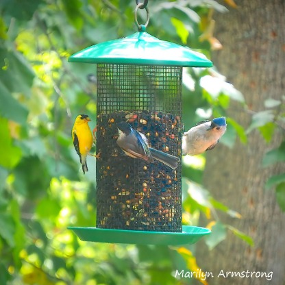 300-goldfinch-nuthatch-blue-jay_082520_030