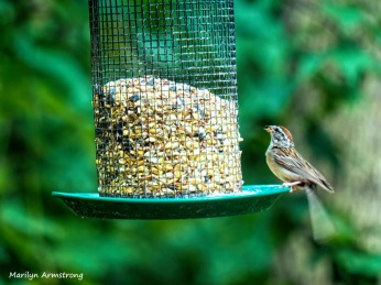 300-moving-tail-feathers-chipping-sparrow_080420_006