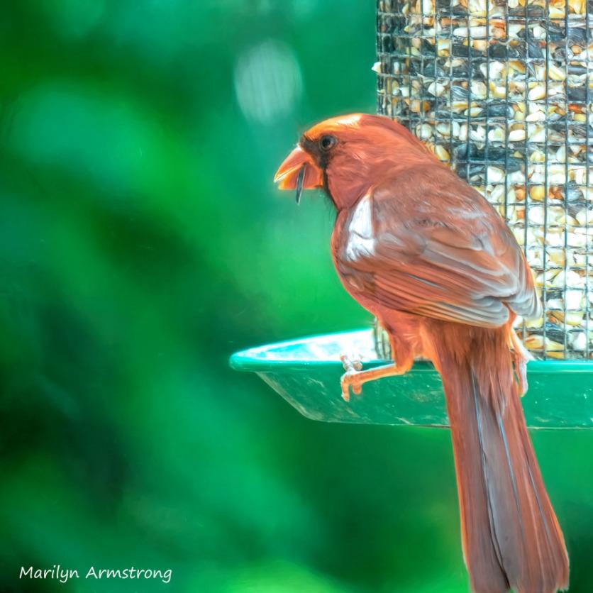 300-orange-cardinal_080920_060