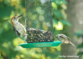 300-red-bellied-sparrow-082020_379