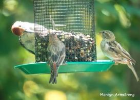 300-red-bellied-woodpecker-2-sparrows_082020_333
