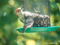 300-red-bellied-woodpecker-sparrow_082020_328