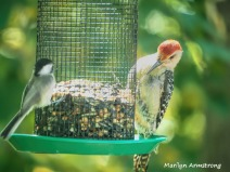 300-red-bellied-woodpecker__chickadee_082020_320