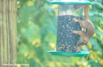 300-red-squirrel_082120_127