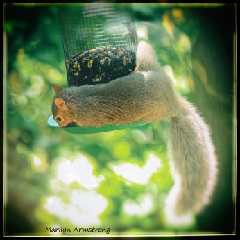 300-red-squirrel_082320_003