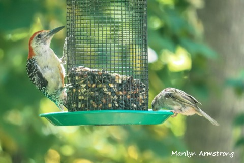 300-sparrow-red-bellied-woodpecker_082020_378