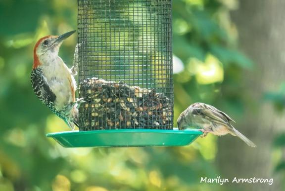 300-sparrow-red-bellied-woodpecker_082020_378