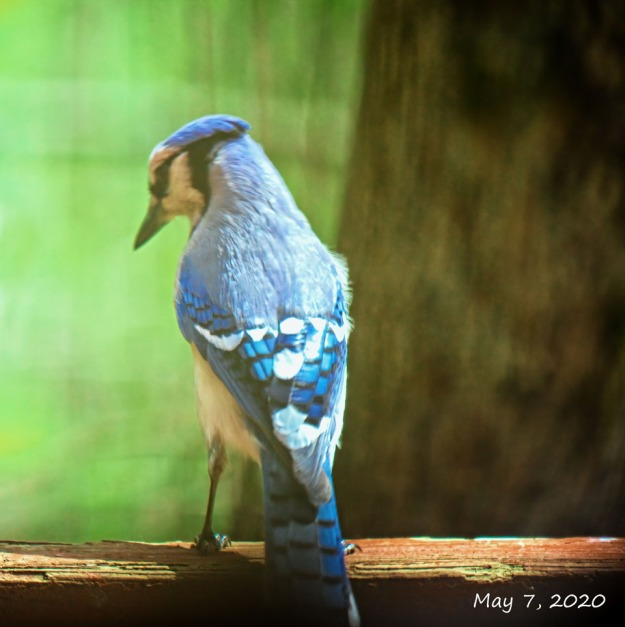 300-square-blue-jay_05072020_0017