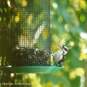 All the others look like Downy Woodpeckers, but I think this may be a Hairy Woodpecker. His big is much bigger and stronger-looking