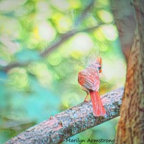 Soft focus orange Cardinal