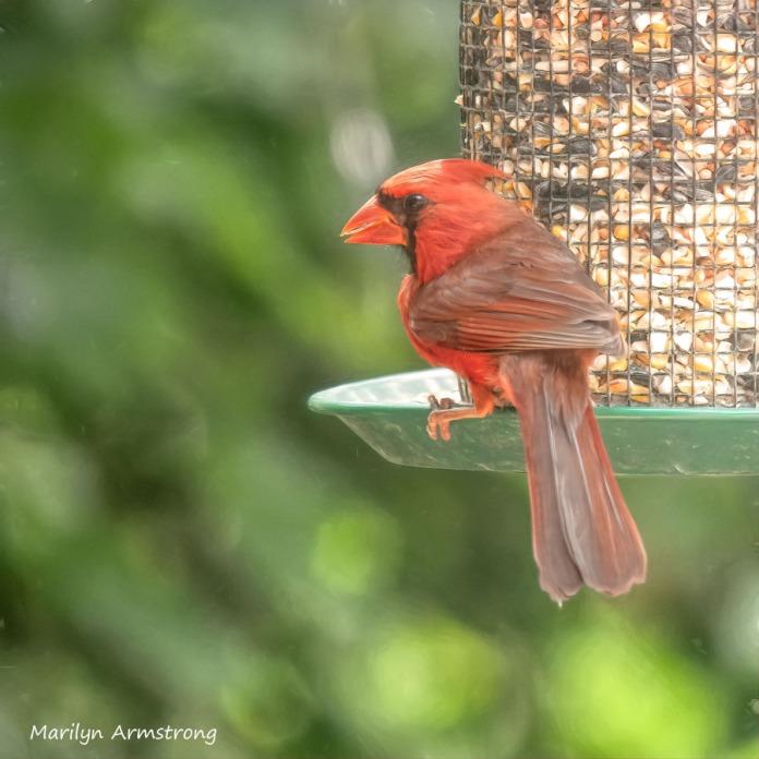 300-square-orange-cardinal_080920_051