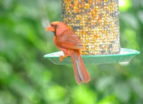 300-square-orange-cardinal_080920_053