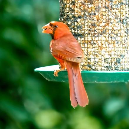 300-square-orange-cardinal_080920_056
