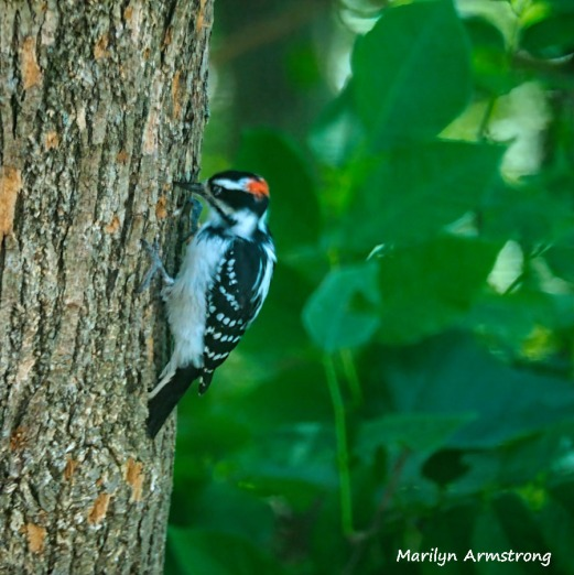 300-square-woodpecker-at-work_083020_00