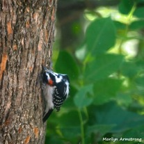 300-square-woodpecker-at-work_083020_009