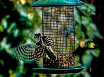 300-two-woodpeckers-082020_044