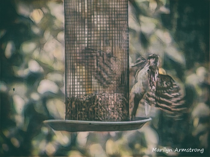This image has an empty alt attribute; its file name is 300-two-woodpeckers-082020_050.jpg